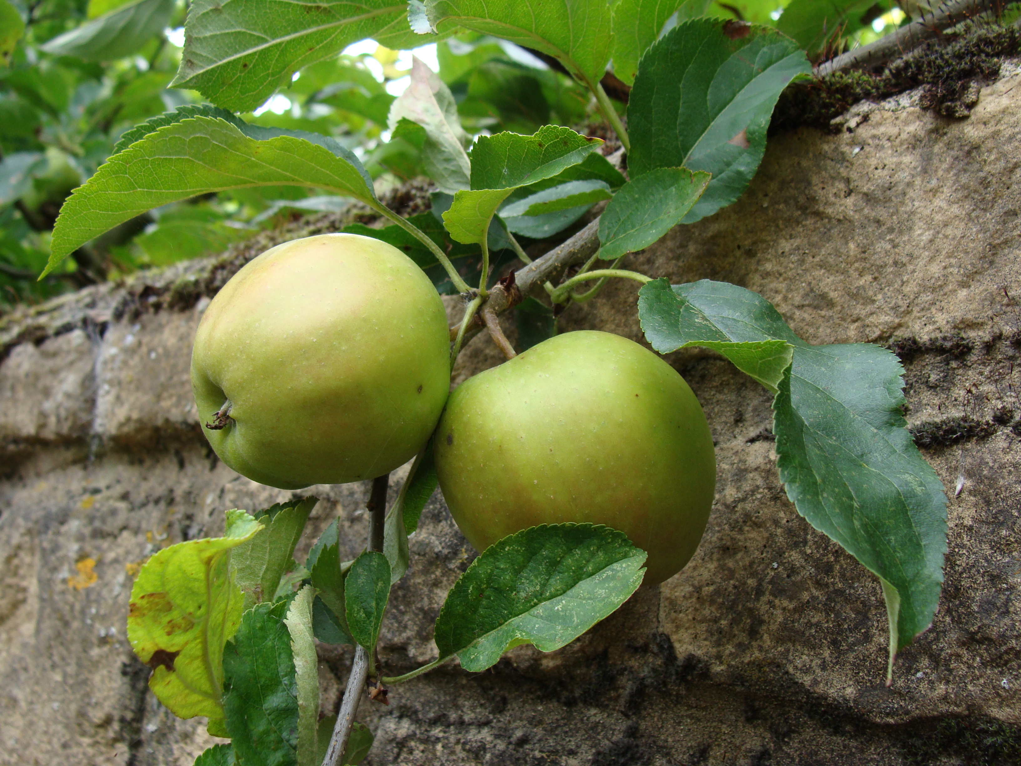 Apples on wall